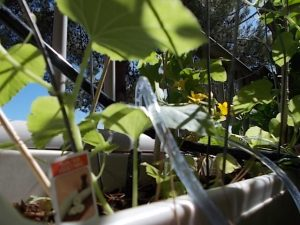 armenian cucumber in bloom with drip system